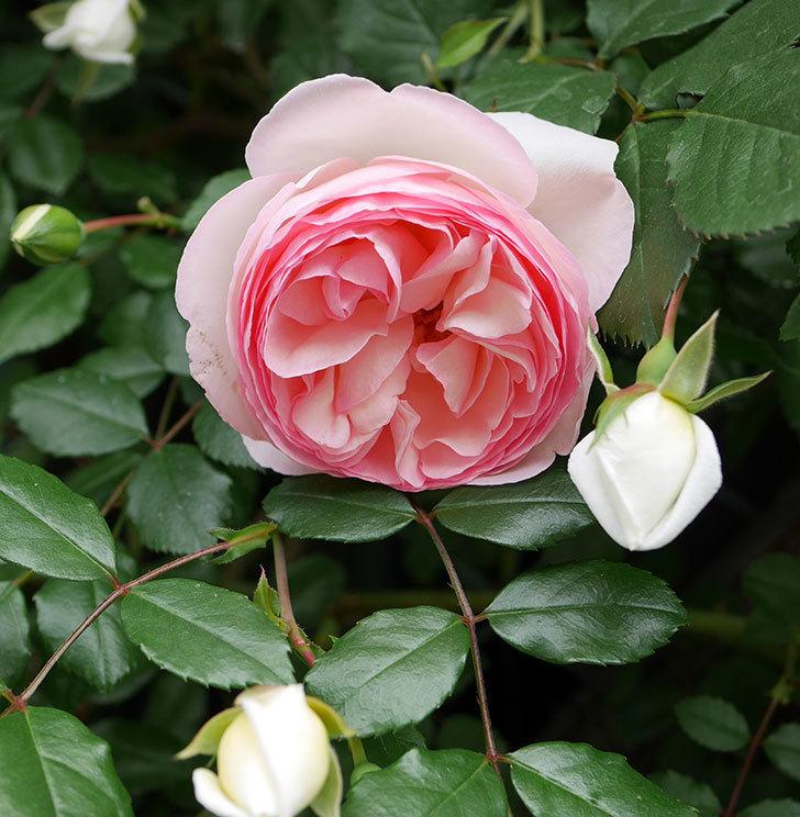 ピエール・ドゥ・ロンサール(ツルバラ)の花が増えて来た。2019年-28.jpg