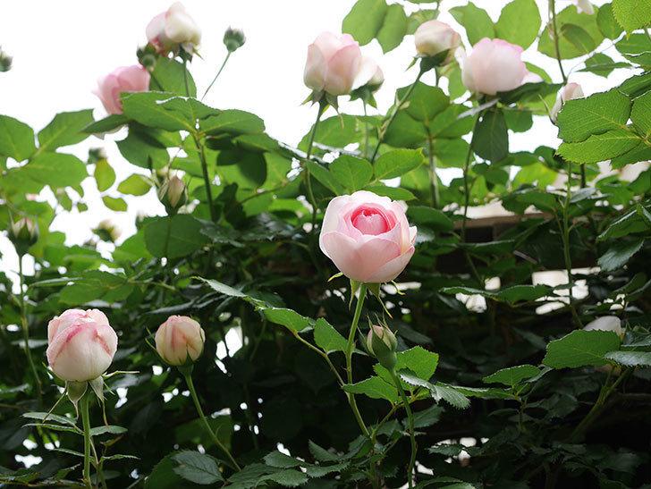 ピエール・ドゥ・ロンサール(ツルバラ)の花が増えて来た。2019年-29.jpg