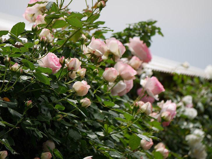 ピエール・ドゥ・ロンサール(ツルバラ)の花が増えて来た。2019年-3.jpg