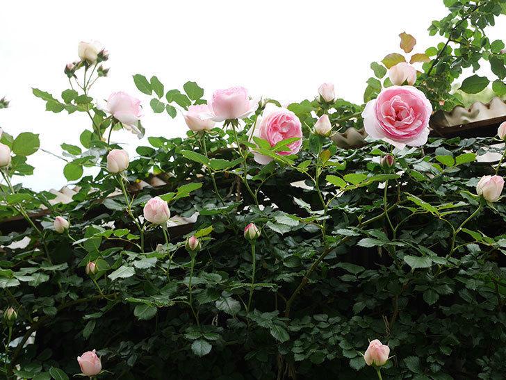 ピエール・ドゥ・ロンサール(ツルバラ)の花が増えて来た。2019年-30.jpg