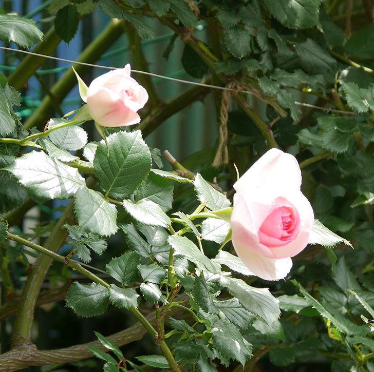 ピエール・ドゥ・ロンサール(ツルバラ)の花が増えて来た。2019年-5.jpg