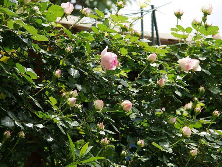 ピエール・ドゥ・ロンサール(ツルバラ)の花が増えて来た。2019年-6.jpg