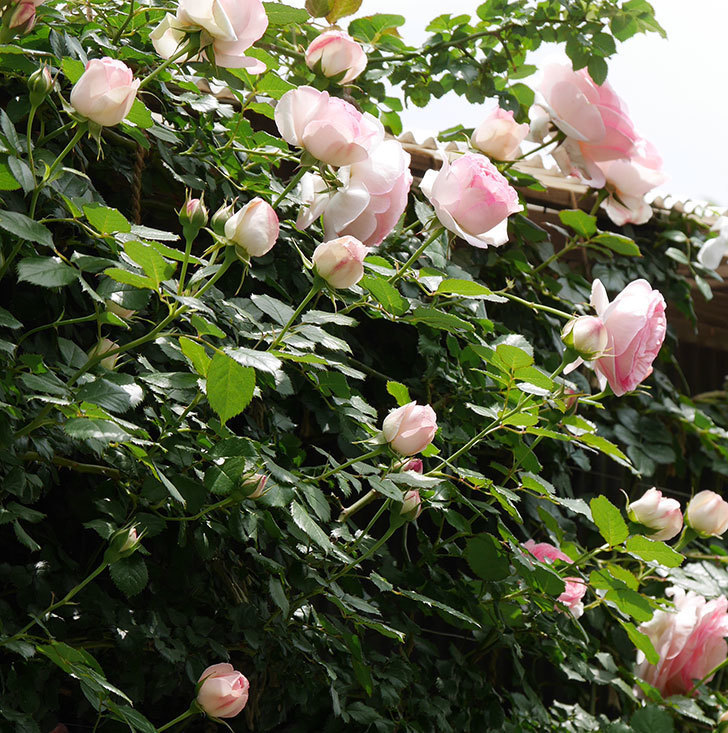 ピエール・ドゥ・ロンサール(ツルバラ)の花が増えて来た。2019年-7.jpg