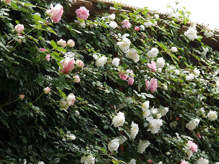 ピエール・ドゥ・ロンサール(ツルバラ)の花が増えて来た。2019年-8.jpg