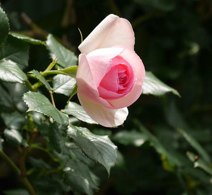 ピエール・ドゥ・ロンサール(ツルバラ)の花が増えて来た。2019年-9.jpg