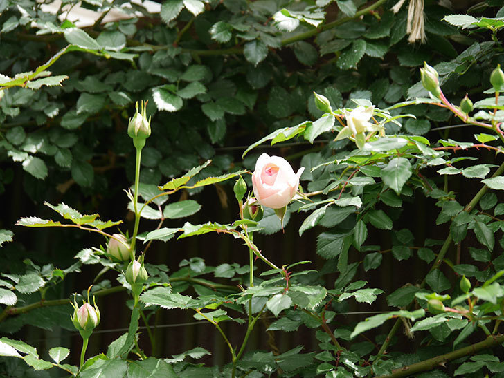 ピエール・ドゥ・ロンサール(ツルバラ)の花が少し咲いた。2019年-2.jpg