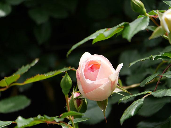 ピエール・ドゥ・ロンサール(ツルバラ)の花が少し咲いた。2019年-3.jpg