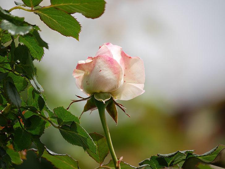ピエール・ドゥ・ロンサール(ツルバラ)の花が少し咲いた。2019年-4.jpg