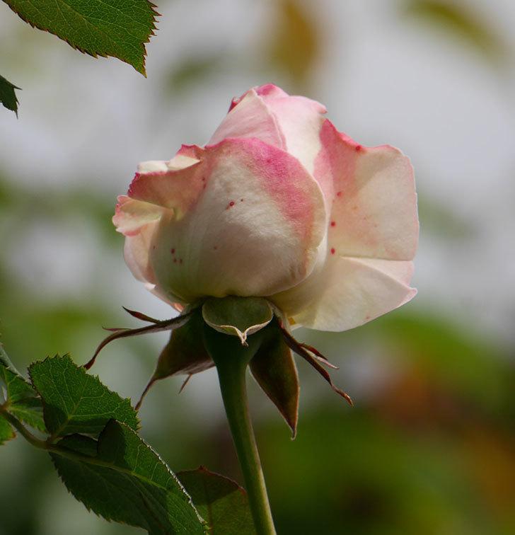 ピエール・ドゥ・ロンサール(ツルバラ)の花が少し咲いた。2019年-5.jpg