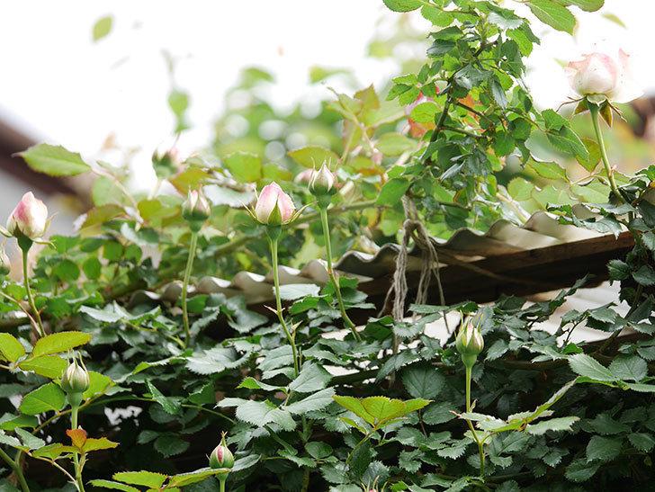 ピエール・ドゥ・ロンサール(ツルバラ)の花が少し咲いた。2019年-6.jpg