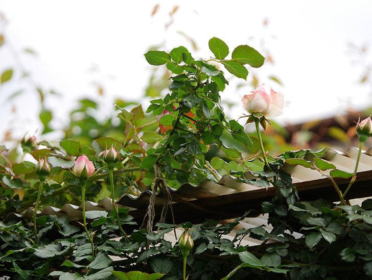 ピエール・ドゥ・ロンサール(ツルバラ)の花が少し咲いた。2019年-9.jpg