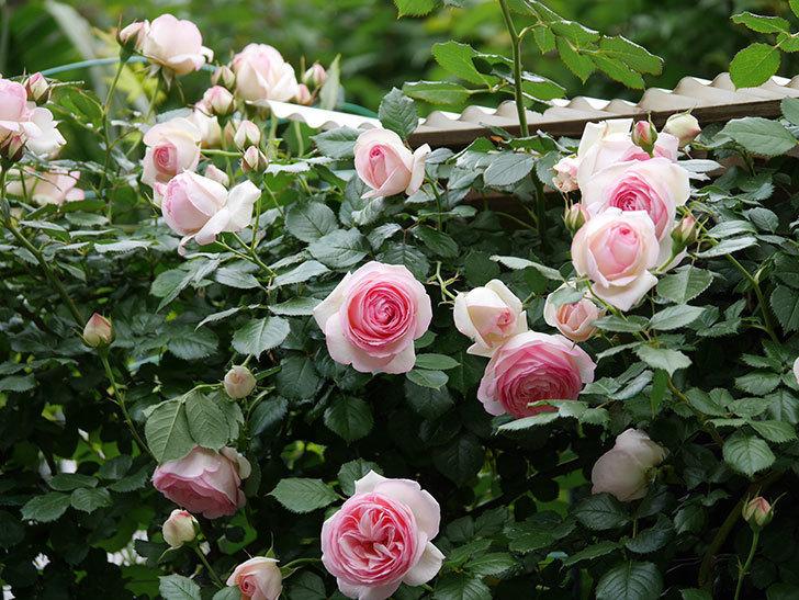 ピエール・ドゥ・ロンサール(ツルバラ)の花が更に咲いた。2019年-1.jpg
