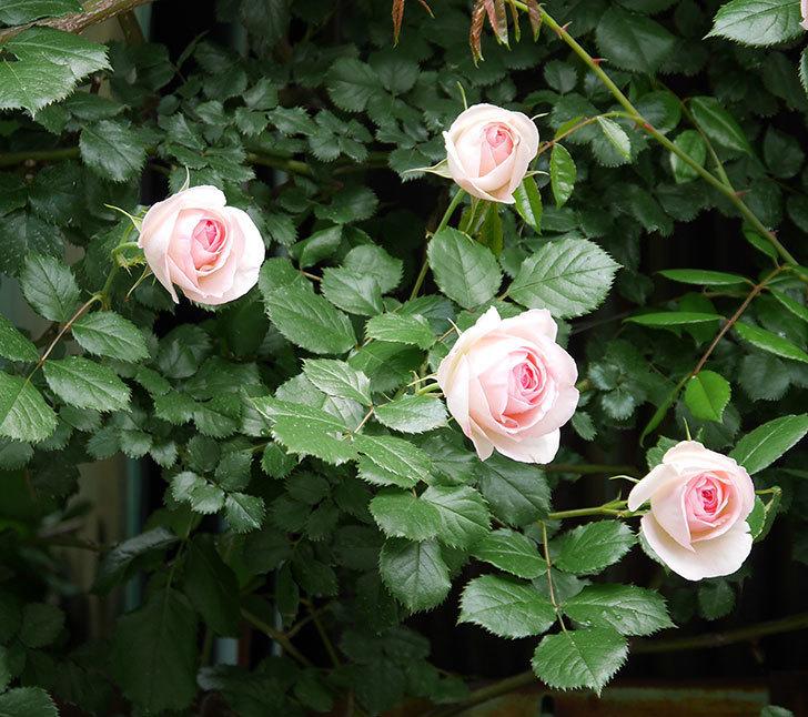 ピエール・ドゥ・ロンサール(ツルバラ)の花が更に咲いた。2019年-10.jpg