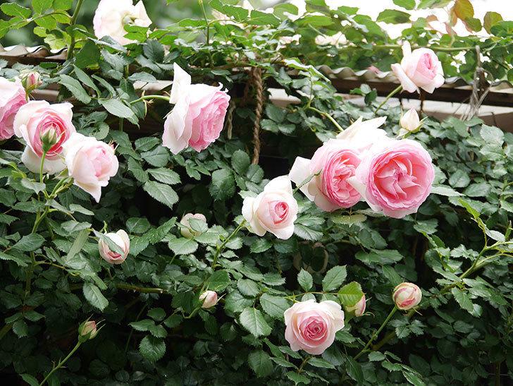 ピエール・ドゥ・ロンサール(ツルバラ)の花が更に咲いた。2019年-11.jpg