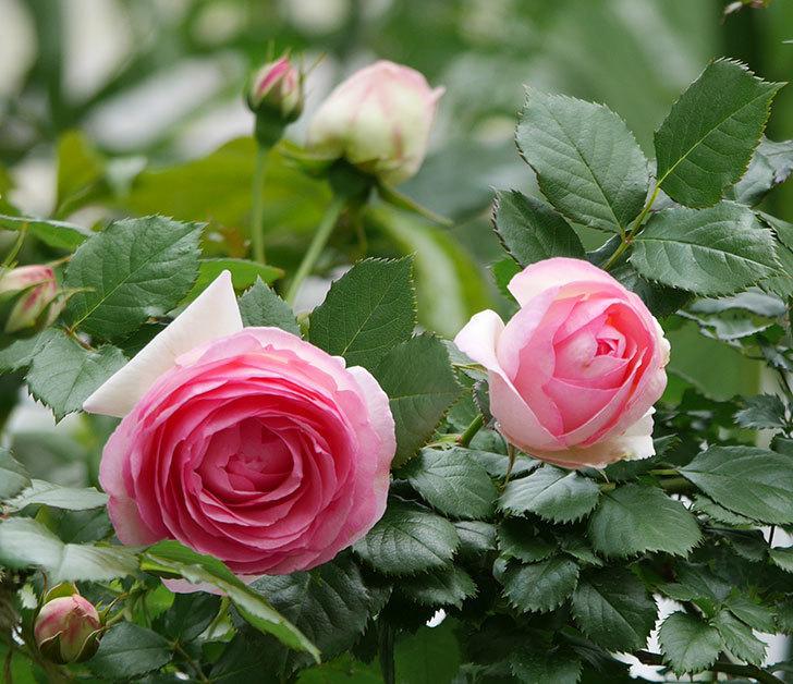 ピエール・ドゥ・ロンサール(ツルバラ)の花が更に咲いた。2019年-13.jpg