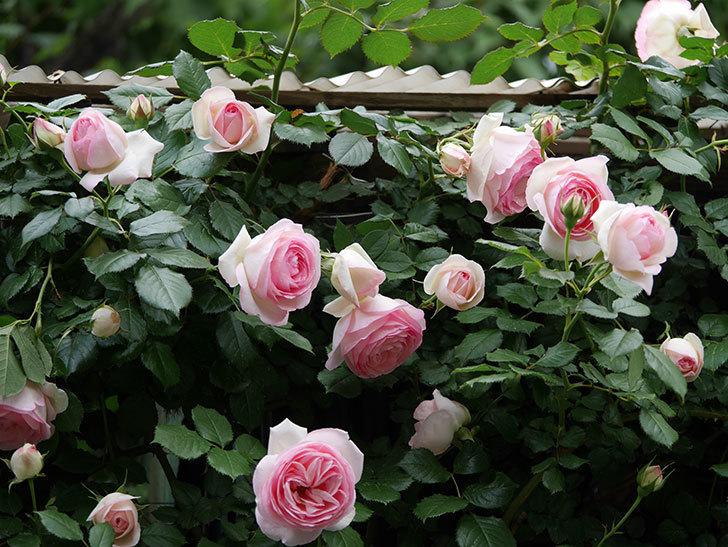ピエール・ドゥ・ロンサール(ツルバラ)の花が更に咲いた。2019年-14.jpg