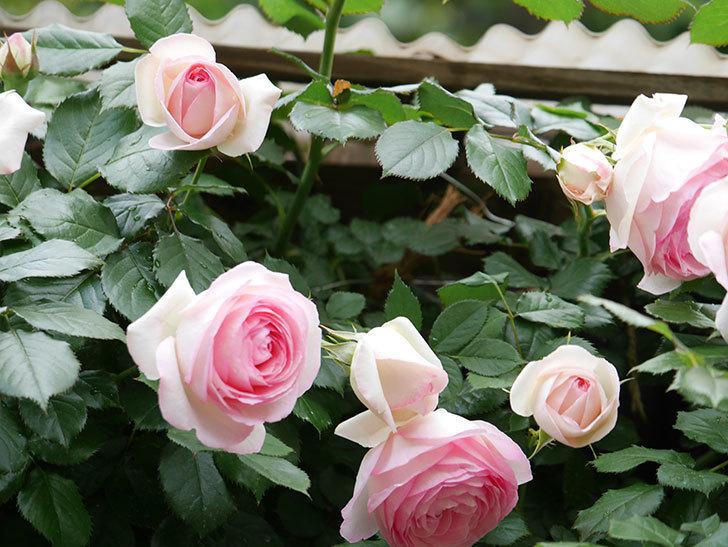 ピエール・ドゥ・ロンサール(ツルバラ)の花が更に咲いた。2019年-15.jpg