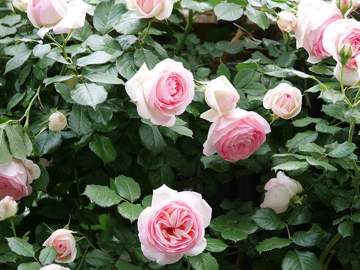 ピエール・ドゥ・ロンサール(ツルバラ)の花が更に咲いた。2019年-16.jpg