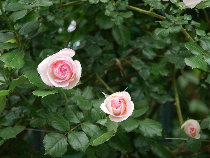 ピエール・ドゥ・ロンサール(ツルバラ)の花が更に咲いた。2019年-18.jpg