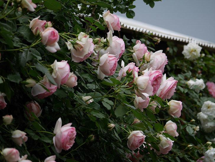 ピエール・ドゥ・ロンサール(ツルバラ)の花が更に咲いた。2019年-2.jpg