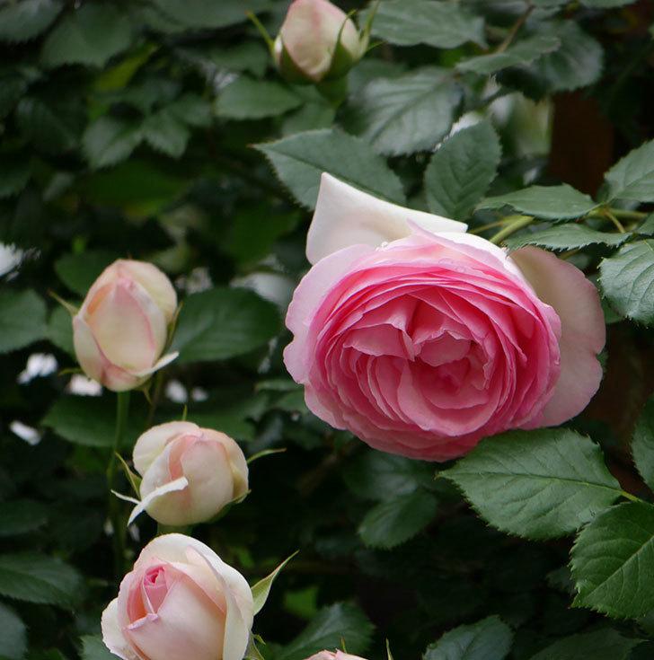 ピエール・ドゥ・ロンサール(ツルバラ)の花が更に咲いた。2019年-20.jpg