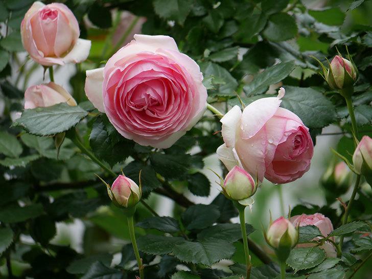 ピエール・ドゥ・ロンサール(ツルバラ)の花が更に咲いた。2019年-21.jpg