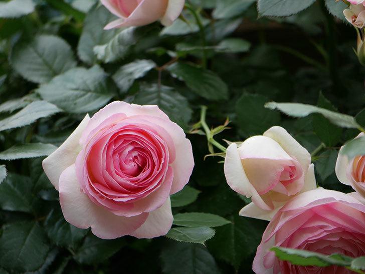 ピエール・ドゥ・ロンサール(ツルバラ)の花が更に咲いた。2019年-22.jpg