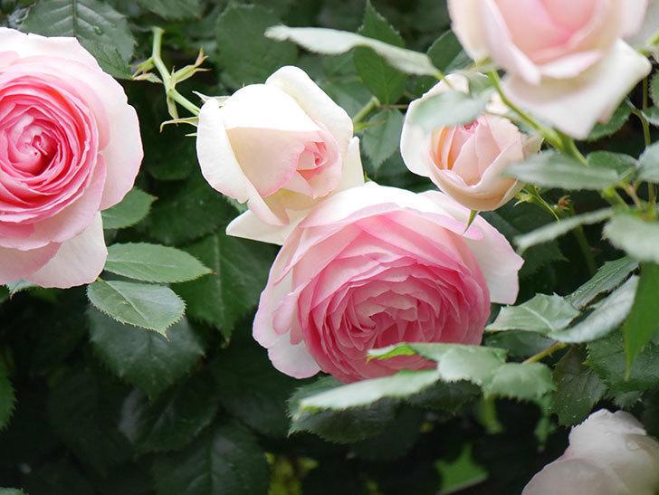 ピエール・ドゥ・ロンサール(ツルバラ)の花が更に咲いた。2019年-23.jpg