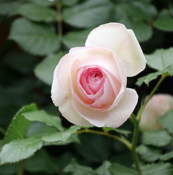 ピエール・ドゥ・ロンサール(ツルバラ)の花が更に咲いた。2019年-24.jpg