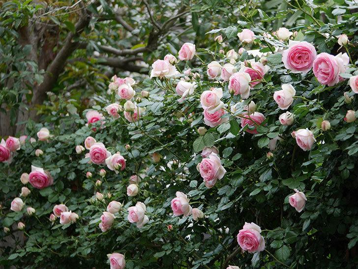 ピエール・ドゥ・ロンサール(ツルバラ)の花が更に咲いた。2019年-26.jpg