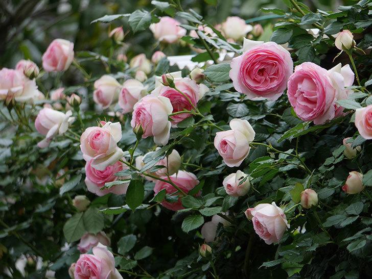 ピエール・ドゥ・ロンサール(ツルバラ)の花が更に咲いた。2019年-27.jpg