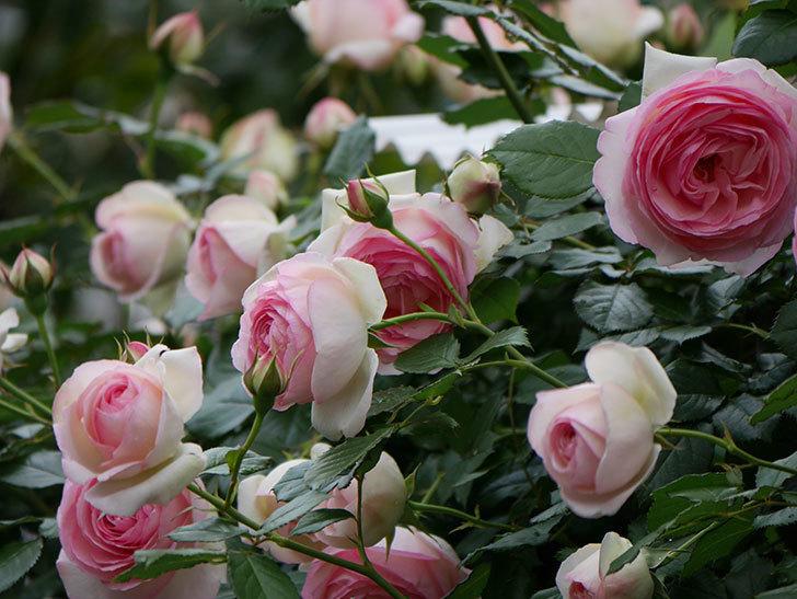 ピエール・ドゥ・ロンサール(ツルバラ)の花が更に咲いた。2019年-29.jpg