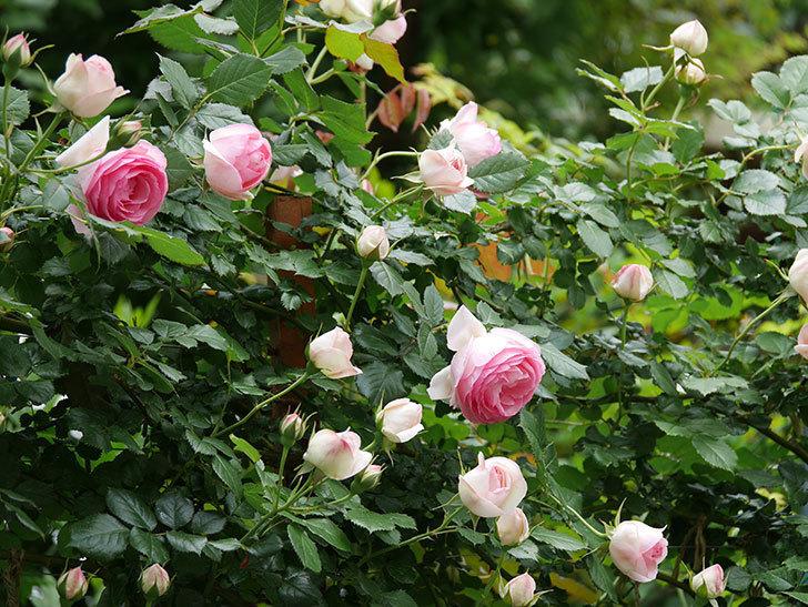 ピエール・ドゥ・ロンサール(ツルバラ)の花が更に咲いた。2019年-3.jpg