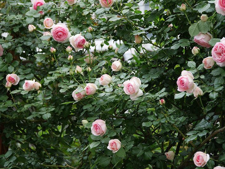 ピエール・ドゥ・ロンサール(ツルバラ)の花が更に咲いた。2019年-30.jpg