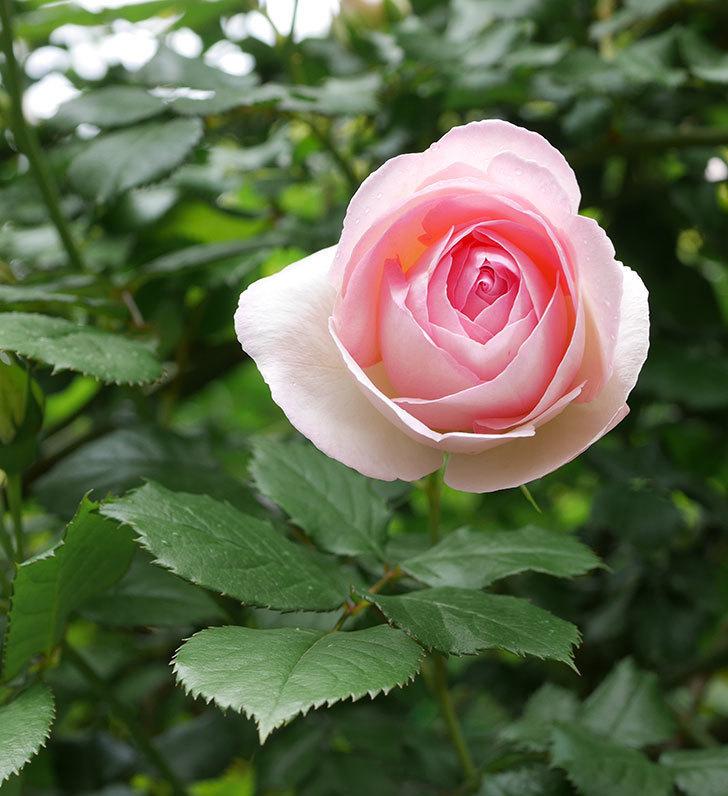 ピエール・ドゥ・ロンサール(ツルバラ)の花が更に咲いた。2019年-33.jpg