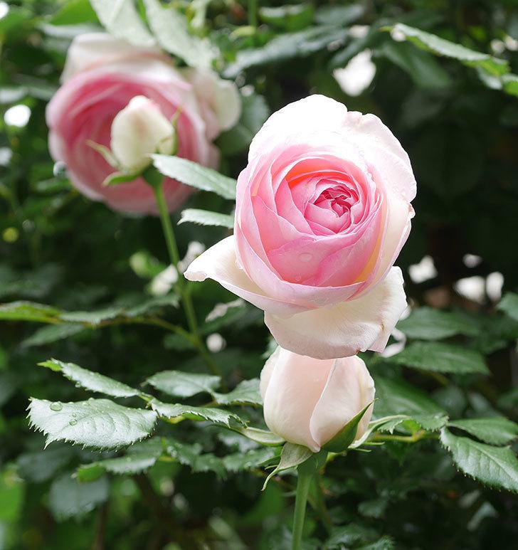ピエール・ドゥ・ロンサール(ツルバラ)の花が更に咲いた。2019年-34.jpg