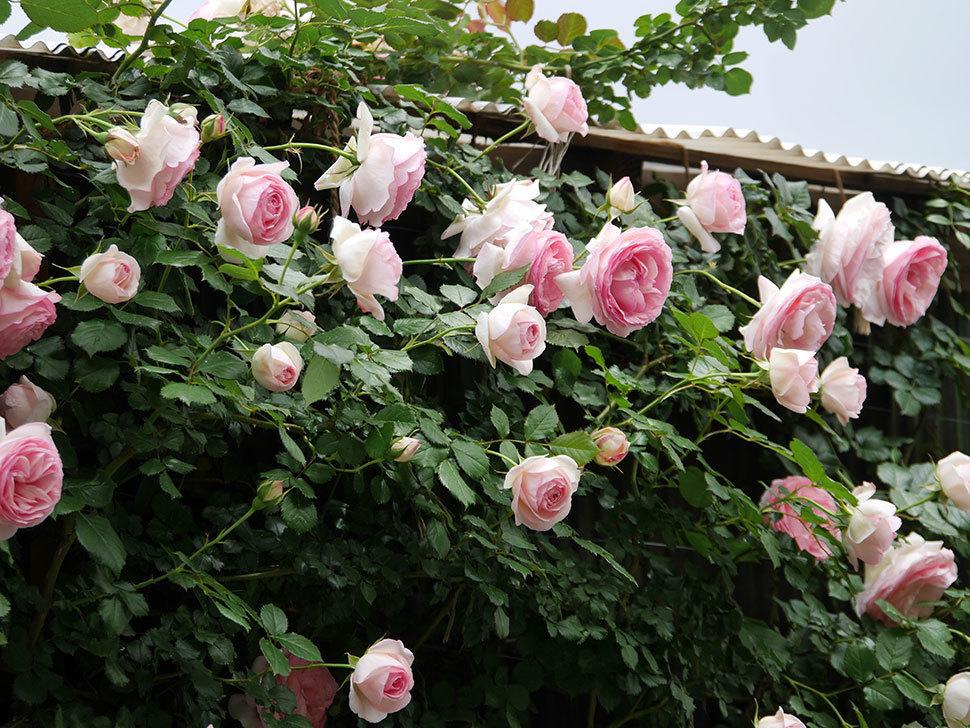 ピエール・ドゥ・ロンサール(ツルバラ)の花が更に咲いた。2019年-5.jpg