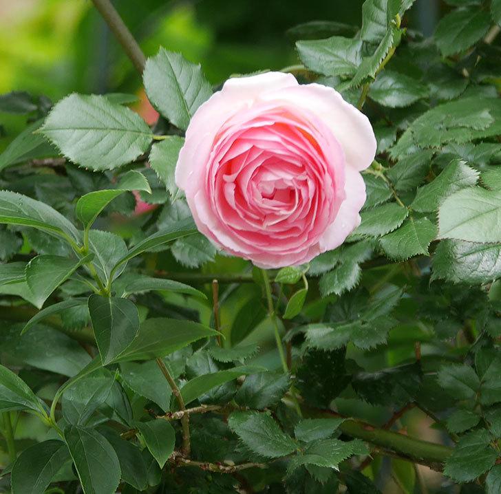 ピエール・ドゥ・ロンサール(ツルバラ)の花が更に咲いた。2019年-6.jpg