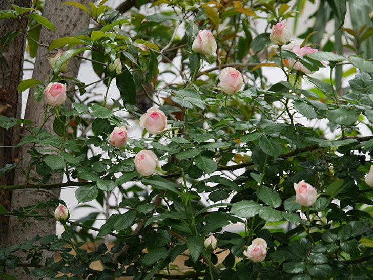 ピエール・ドゥ・ロンサール(ツルバラ)の花が更に咲いた。2019年-7.jpg