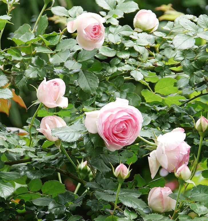 ピエール・ドゥ・ロンサール(ツルバラ)の花が更に咲いた。2019年-8.jpg