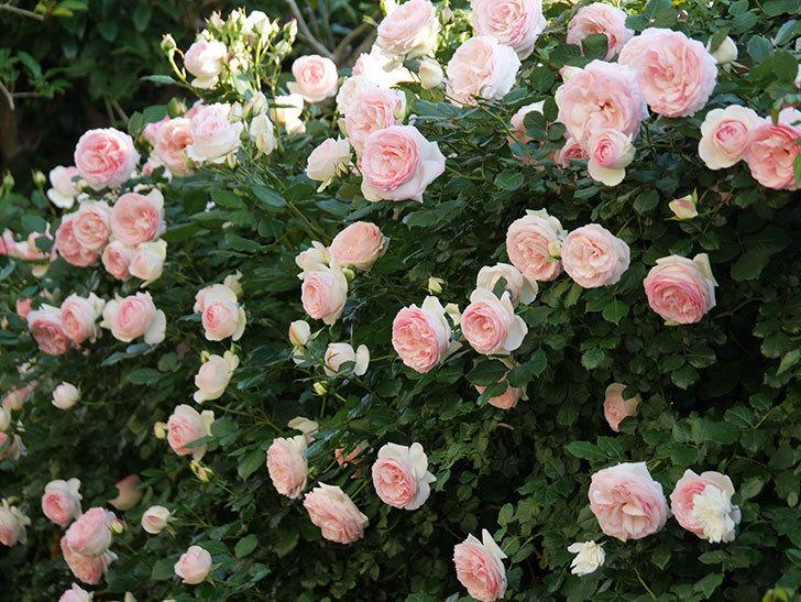 ピエール・ドゥ・ロンサール(ツルバラ)の花が満開になった。2020年-1.jpg