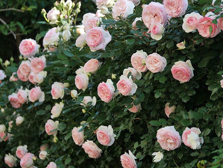 ピエール・ドゥ・ロンサール(ツルバラ)の花が満開になった。2020年-10.jpg