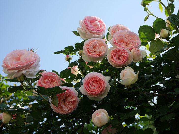 ピエール・ドゥ・ロンサール(ツルバラ)の花が満開になった。2020年-12.jpg