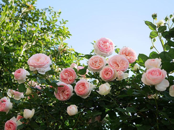 ピエール・ドゥ・ロンサール(ツルバラ)の花が満開になった。2020年-13.jpg