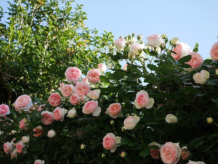 ピエール・ドゥ・ロンサール(ツルバラ)の花が満開になった。2020年-14.jpg