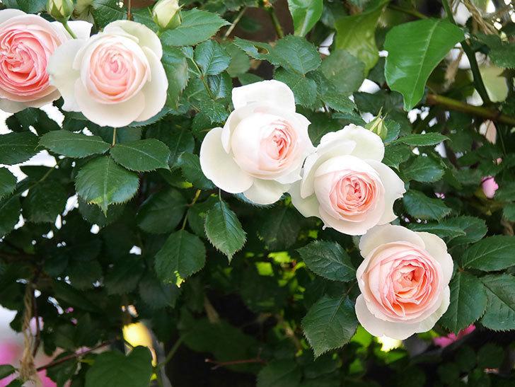 ピエール・ドゥ・ロンサール(ツルバラ)の花が満開になった。2020年-2.jpg