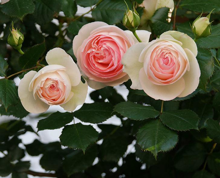 ピエール・ドゥ・ロンサール(ツルバラ)の花が満開になった。2020年-3.jpg