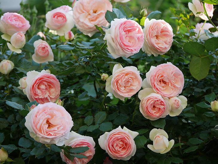 ピエール・ドゥ・ロンサール(ツルバラ)の花が満開になった。2020年-4.jpg