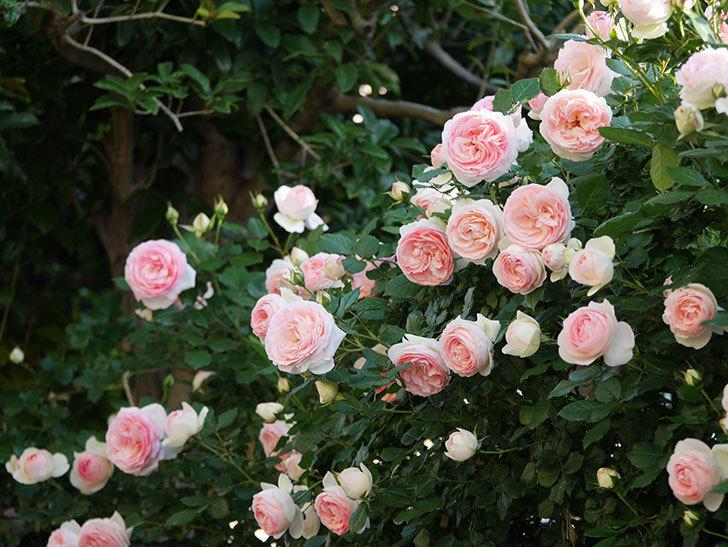 ピエール・ドゥ・ロンサール(ツルバラ)の花が満開になった。2020年-5.jpg