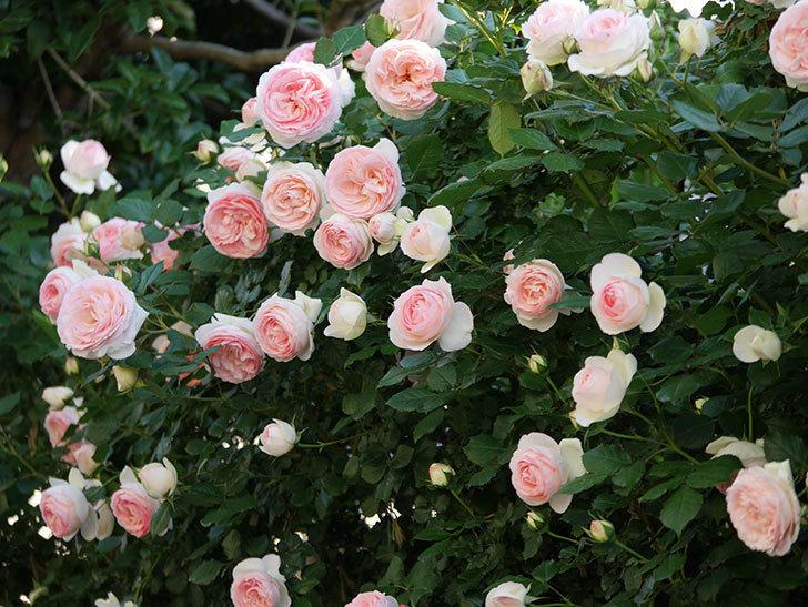 ピエール・ドゥ・ロンサール(ツルバラ)の花が満開になった。2020年-6.jpg